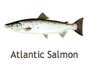 Atlantic Salmon by Wild C Limited