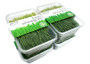 ORGANIC FRESH WHEATGRASS HARVEST & PACKED & SEALED (100 GRAMS) by Green Vitamin