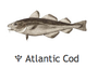 Atlantic Cod by Wild C Limited